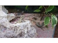 Baby Bearded Dragon for sale 10£ ich contact only msg 07711211714 or 07404081971