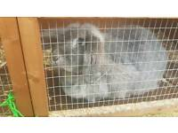 Grey rabbit for sale with hutch