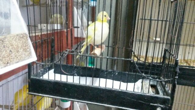 Fife canaries for sale Birds still available 29/10 2018 | in Ballyclare,  County Antrim | Gumtree