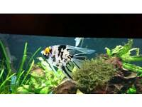 2x Angel fish and 3x gouramis