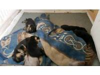 5 GSD puppies 2bitch 3 dogs. Mam dad n grandmother can be seen. All kennel club registered