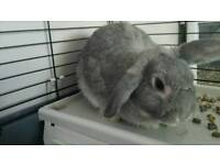 Small lop eared girl grey rabbit 9 months