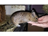 3 Female Degus For Sale, Cage and All Accessories Included