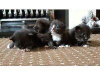 Beautiful Ragdoll x Persian x Maincoon Kittens