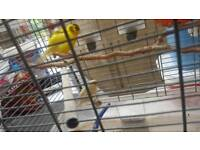 Two singing canary with cage