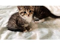 a beautiful male & female kittens