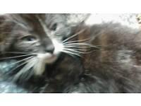 Handsome male kitten last one £75
