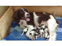 KC Registered English Springer Spaniel Puppies for Sale