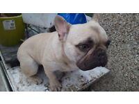 French Bulldog Fawn KC REG - Litter Trained