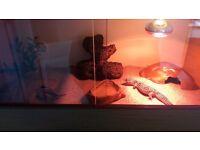 2 x leopard gecko and vivarium