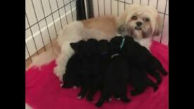 Lhasapoo Pups - Lhasa Apso x Toy Poodle