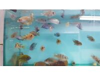 Malawi chichlids assorted species Derby