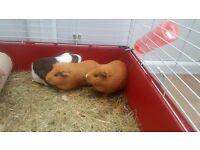 Girl ginea pigs