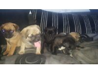 3/4 pug puppys for sale 🐶