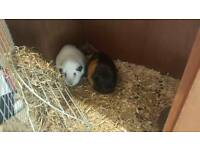 Guinea pigs FTGH