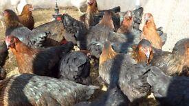 black copper maran chickens