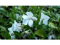 3 x7cm Hardy garden plants VINCA MINOR white flower all proceeds to WILD HEDGEHOG charity