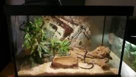 baby corn snake and full setup