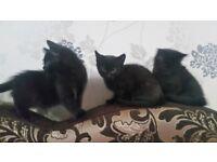 Stunning Ragdoll x Russian Blue Kittens