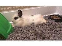 Long haired lion white and black baby bunny