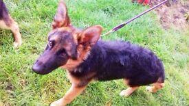 German Shepherd Puppy's
