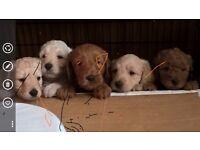 Miniature Labradoodle Mulitgen Puppies