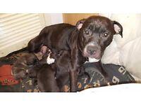 Chunkie puppies