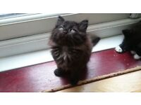 beautiful long haired female kittens for sale