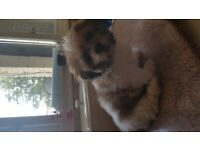 Shi tzui female puppies for sale 11 weeks old