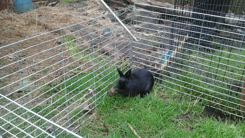 Beautiful black doe netherland dwarf rabbit ready now for loving home