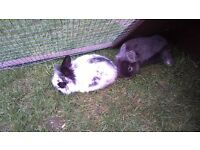Baby Rabbits For Sale - £40.00 each