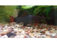 Labeo fish