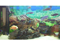 Tropical fish - Malawi Cichlids for sale