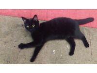 MISSING SMALL BLACK CAT- HOLLOWAY RD!