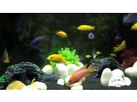 yellow labs africian chiclids
