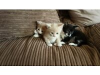 KITTENS FOR SALE £70