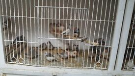 Zebra finches for sale £4 each.