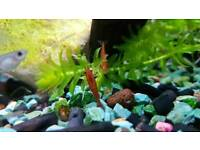 Red cherry shrimps.. 10 for £10