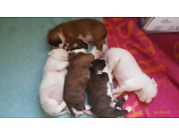 KC registered boxer puppies only one left !!!!