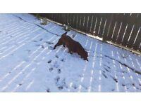 Chocolate Labrador IKC Registered full pedigree
