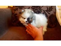 Very cute miniature Pomeranian puppy available