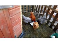 Four Friendly Hens, 12months old