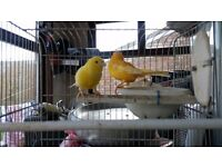 A pair canaries for sale very healthy and nice colours