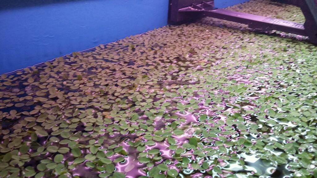 Aquarium and pond plants