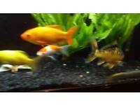Load of goldfish for sale