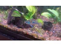 Ellioti cichlid - Beautiful colourful fresh water tropical community fish