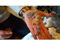leopard gecko for sale beautiful colouring