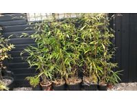 Selection of Large evergreen potted bamboo plants