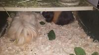 2 cute guinea pigs looking for good home please contact for free