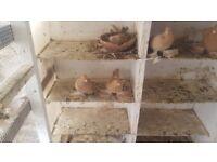 Pigeons for lemon tumblers& swollers